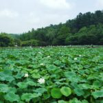 a body of water full of lotus leaves.